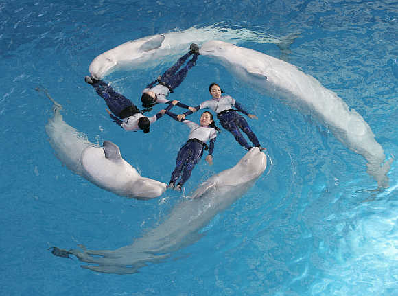 Trainers perform with four white dolphins at Yokohama Hakkeijima Sea Paradise.