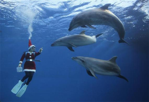 A diver dressed as Santa Claus swims with dolphins at Hakkeijima Sea Paradise in Yokohama, south of Tokyo.