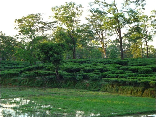 A tea garden in Assam.