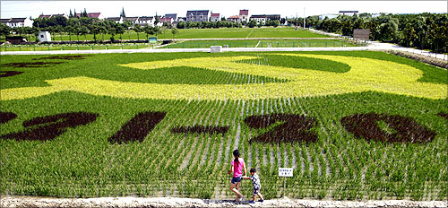 The local government grow a dyed paddy field in shape of a giant communist emblem, to celebrate the 90th anniversary of China's Communist Party.