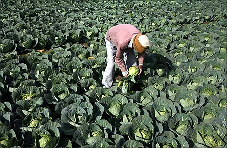 A farmer works in his vegetable field in Jammu.
