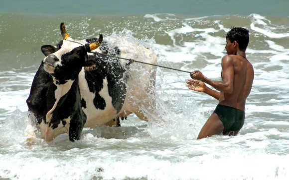 Boy bathes a cow at Marina beach in Chennai.