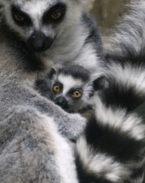 A baby ring-tailed lemur cuddles with its mother in their enclosure at Ueno Zoo in Tokyo.