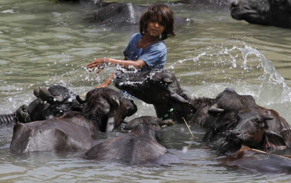 A girl bathes her buffaloes in a canal at Sabota village in Uttar Pradesh.