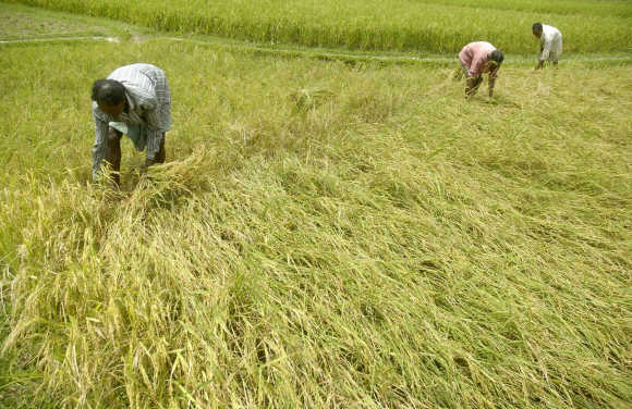 Farmers harvest paddy crops at Katlamura village, about 35km west of Agartala.