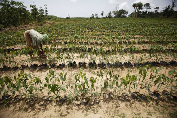A woman works on a plantation of rubber seedlings in San Pedro, Ivory Coast.