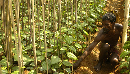 A farmer works in a Paan or betel leaf garden in Sonamura village, 60 km (37 miles) south of Agartala.