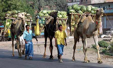 Farmers transport watermelons on their camels to sell in a market in Allahabad.
