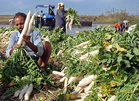 A farmer arranges radish at a vegetable market on the outskirts of Jammu.