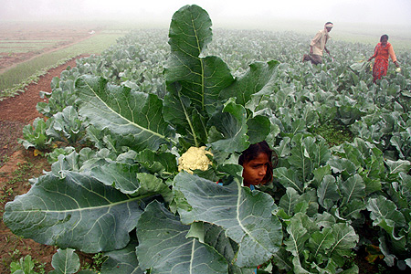 A farmer and his family work at their cauliflower field amid dense fog during early morning on the outskirts of Chandigarh.
