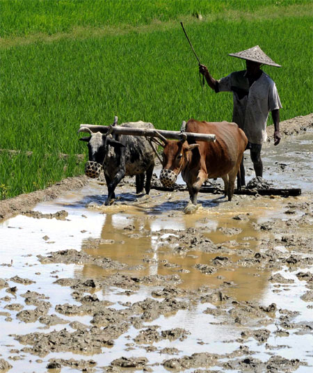 A farmer ploughs his paddy field in Kadamtala village, about 189 km (117 miles) north of Agartala.