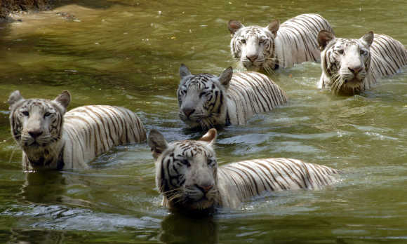 White tigers swim in a pond on a hot day at the zoological park in Hyderabad.