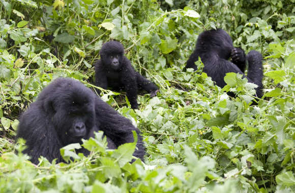 Mountain gorillas feed on the slopes of Mount Mikeno in the Virunga National Park, Democratic Republic of Congo.
