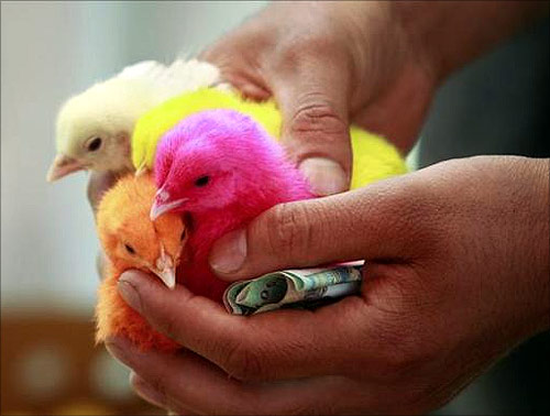 A customer holds chicks dyed in colour after buying them at a roadside market in Srinagar.