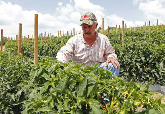 Tomato farmer Tim Battles looks over his growing crop in Oneonta, Alabama.