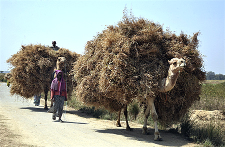 Farmers transport wheat crop on camels at Pipalgaon village.