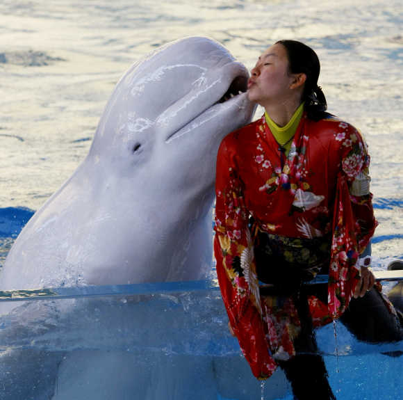 A white whale kisses a Kimono-clad trainer at a show to celebrate the New Year at the Hakkeijima Sea Paradise in Yokohama, near Tokyo.