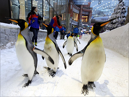 King Penguins walk in Ski Dubai at Mall of the Emirates during a media briefing.