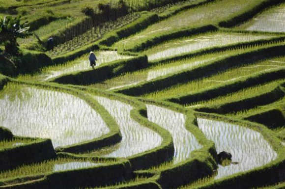 Rice is planted in graceful terraced paddies near Jatiluwih in central Bali.