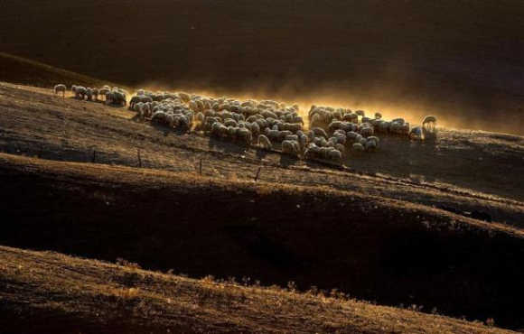 Sheep graze on a field at the 'Crete Senesi' (Siennese clays) area near Asciano, Italy.