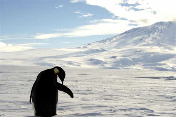 A foraging Emperor penguin preens on snow-covered sea ice around the base of the active volcano Mount Erebus, near McMurdo Station, the largest US Science base in Antarctica.