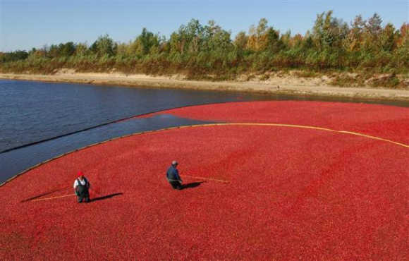 Workers harvest cranberries at the Atoka cranberry farm in Manseau, Quebec, Canada.
