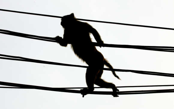 A monkey crosses a crowded street using over-head power lines in New Delhi.