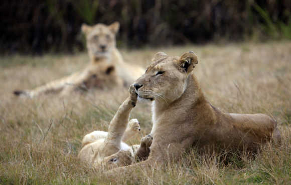 A lioness plays with her cub in a Johannesburg park.