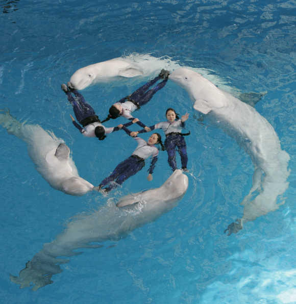 Trainers perform with whales during a show at Yokohama Hakkeijima Sea Paradise, south of Tokyo.