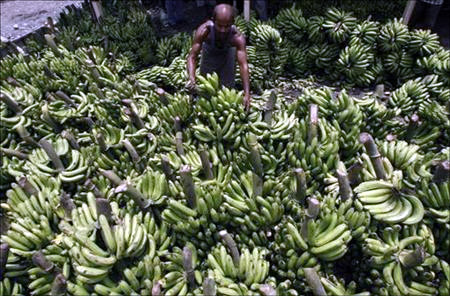 A labourer arranges bananas at a wholesale fruit market in Siliguri.