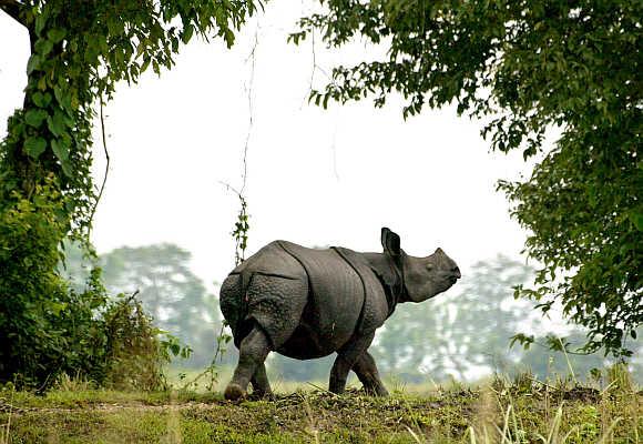 A one-horned rhinoceros walks in Kaziranga National Park in Assam.