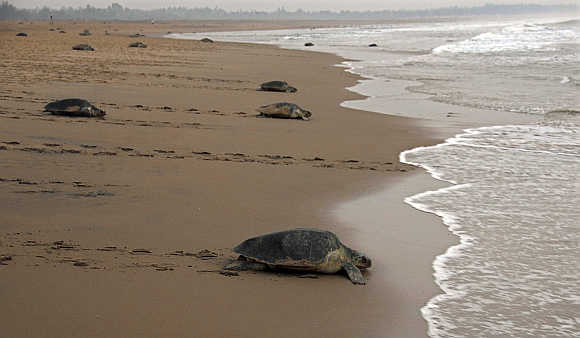 Sea turtles make their way back to the sea in Orissa.