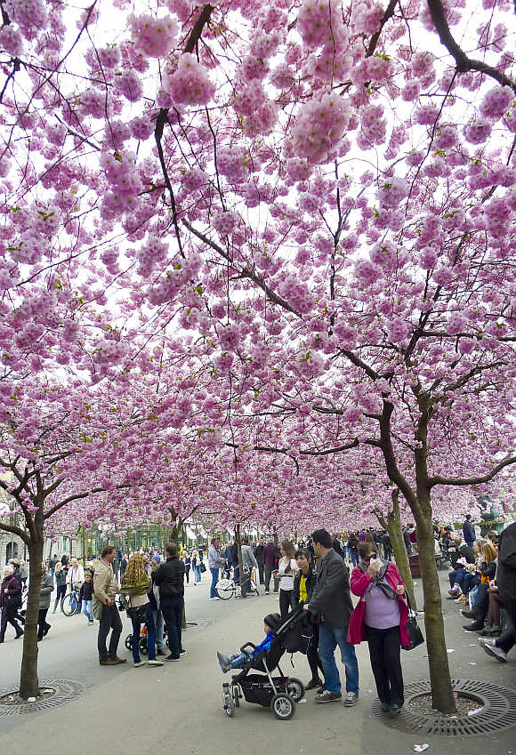 People stroll under pink cherry blossoms in a Stockholm park.