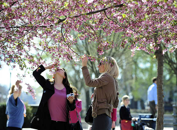 Women smell cherry blossom in the Kungstradgarden park in Stockholm, Sweden.