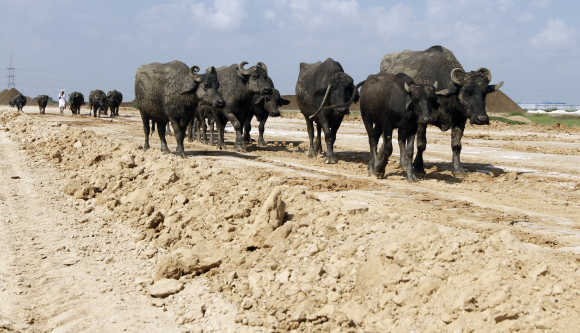 All-weather roads to every village are an absolute must, says Ghosh. Cattle walk on a road under construction in Sanand, Gujarat.