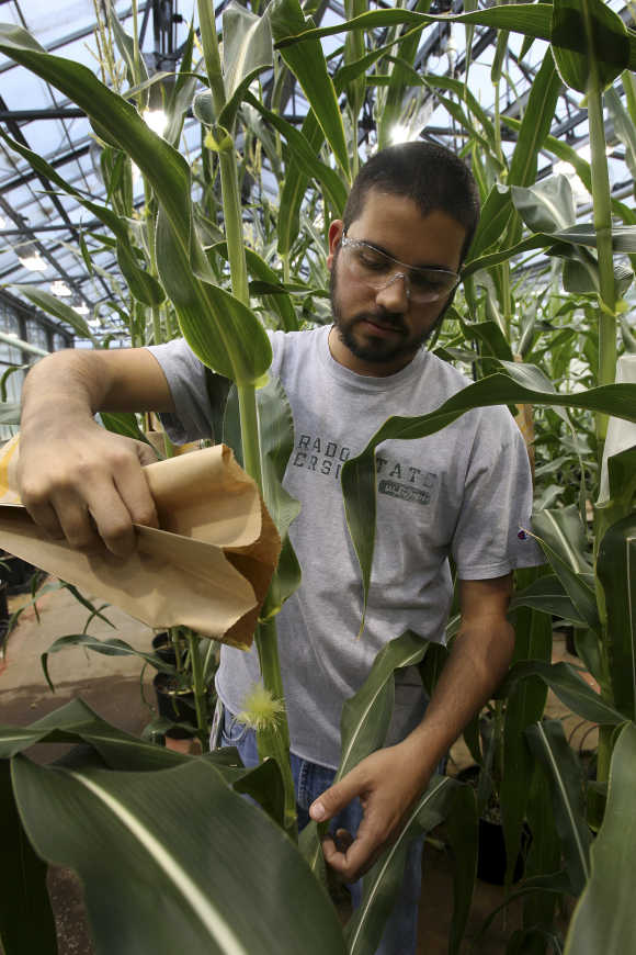 Corn plant specialist Nick Bosso pollinates a stalk in the greenhouse at the Monsanto Research facility in Chesterfield, Missouri.