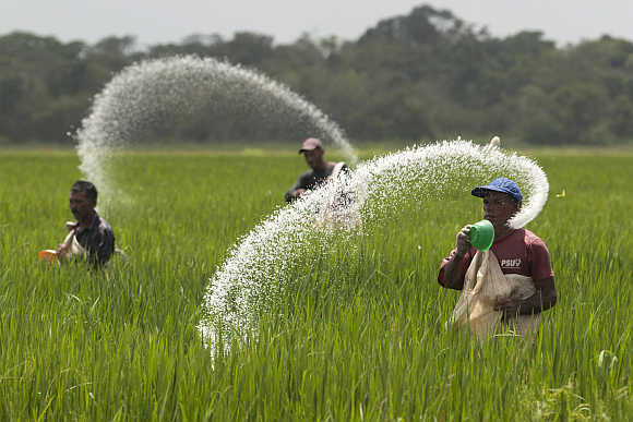 Farmers cast urea fertiliser in a rice plantation in the central state of Cojede, Venezuela.