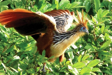 Hoatzin is among the exotic species in the Yasuni National Park.