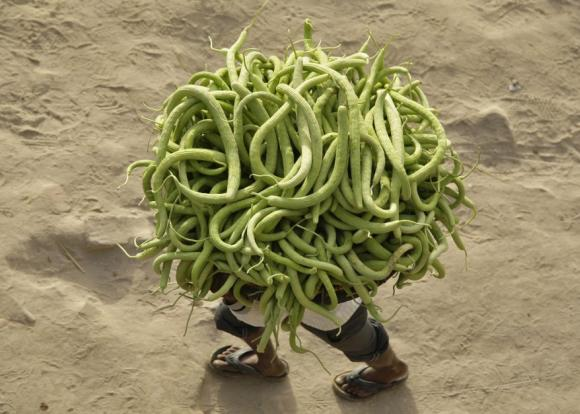A farmer carries cucumbers from his field to sell in the markets.
