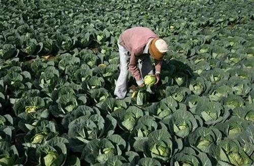 A farmer works in his vegetable field.