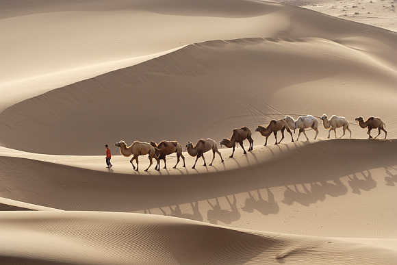 A local farmer leads a row of camels at a tourism resort of the Kumtag Desert in Shanshan county, northwest China's Xinjiang Uygur Autonomous Region.