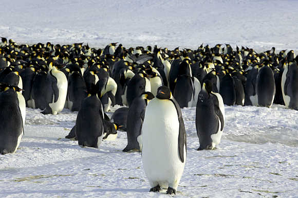 Emperor penguins are seen in Dumont d'Urville in Antarctica.