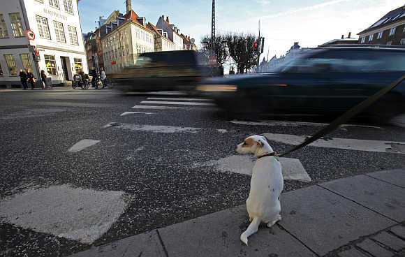 A dog sits as he waits next to his owner to cross a street in Copenhagen.
