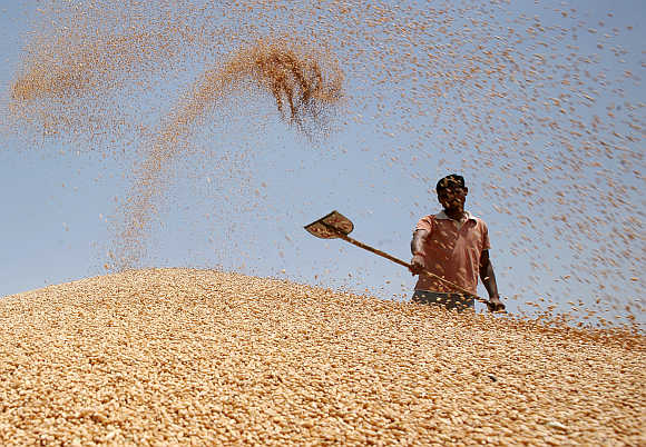 A labourer shovels wheat at a wholesale grain market on the outskirts of Amritsar.