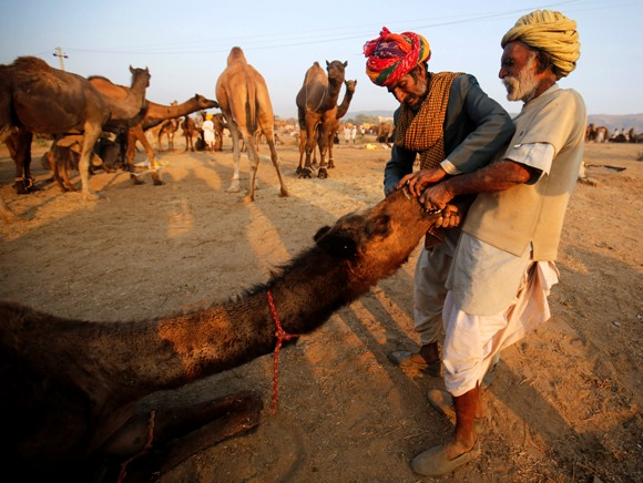 Camel herders try to attach a nose ring on a camel at Pushkar Fair in Rajasthan.