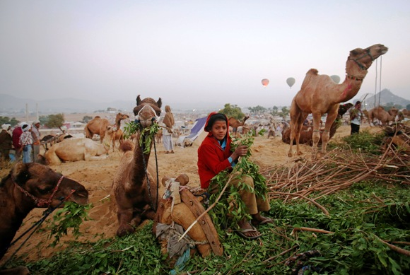 A boy feeds camels while waiting for customers at Pushkar Fair in Rajasthan.