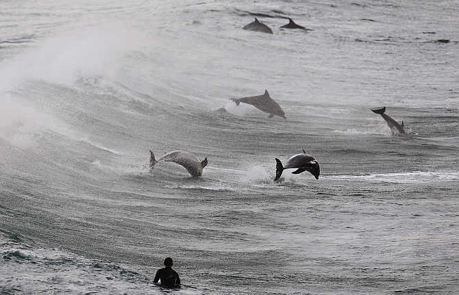 A surfer watches a group of dolphins leap in the waters of Bondi Beach in Sydney, Australia.