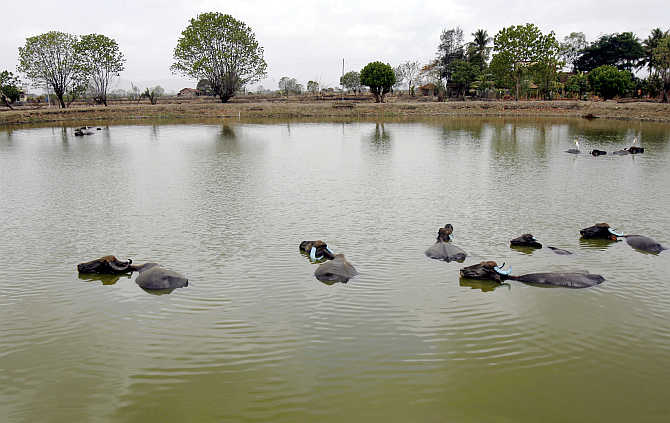 Buffaloes cool down in a pond in a field earmarked for a Special Economic Zone in Pen, about 70km east of Mumbai.
