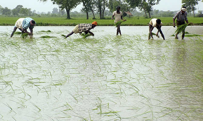 Farmers plant paddy in a field in Mathura.