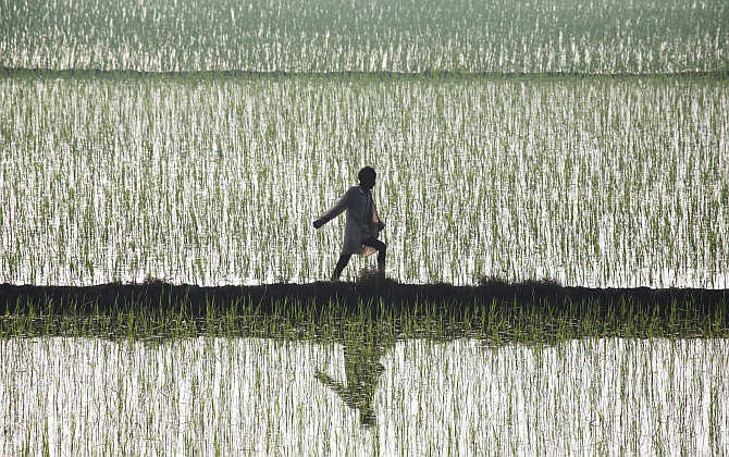 A farmer spreads fertiliser in a paddy field at Traouri village in Haryana.